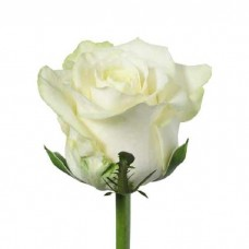 Роза Mondial 70 см