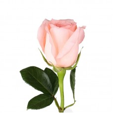 Роза Engagement 50см