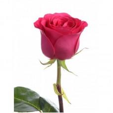 Роза Gotcha 50см