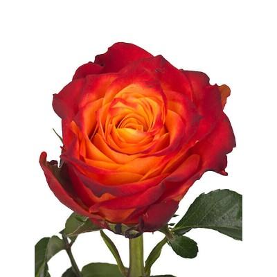 Роза Atomic 50см