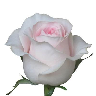 Роза Sr 70 см