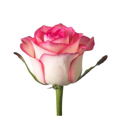 Роза Jumilia 70см