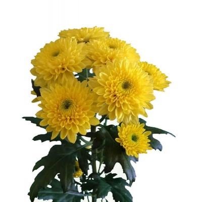 Хризантема Пина-Колада желт.
