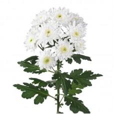 Хризантема Пина-Колада