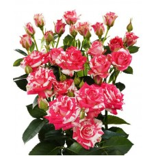 Кустовая кенийская роза