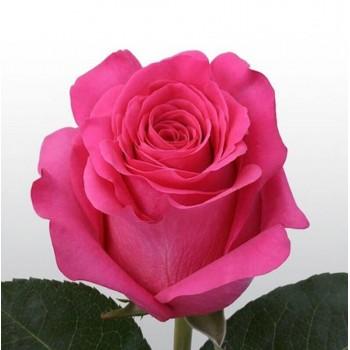 Роза Pink floyd 60см