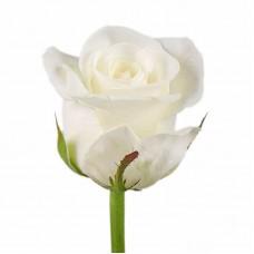 Роза Белуга 60см